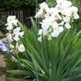 "Iris Germanica Tall Bearded ""Arctic Star"" (Iris germanica (Orris))"