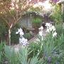 Iris Germanica Arctic Star (Iris germanica (Orris))