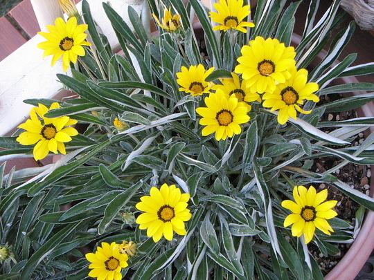 Early Spring in north-east Downunder: Gazanias (Gazania)