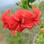Early Spring in north-east Downunder: Hibiscus rosa-sinensis 'Snowflake' (Hibiscus rosa-sinensis variegata 'Snowflake' or 'Snowqueen')