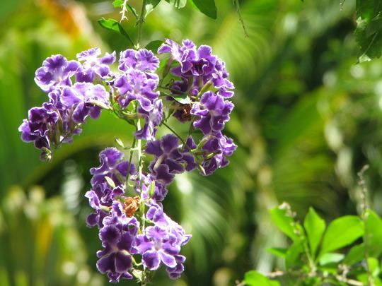 Early Spring in north-east Downunder: Duranta repens is flowering again