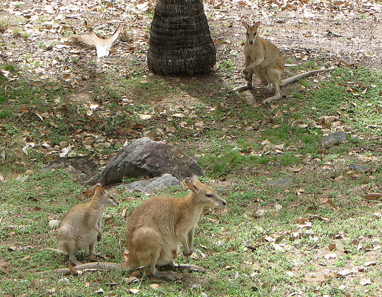 Early Spring in north-east Downunder: Agile wallabies