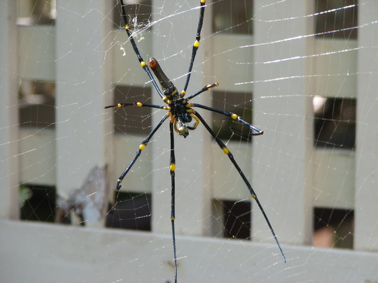 Early Spring in north-east Downunder: Nephila pilipes (Golden Orb Web Spider)
