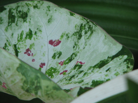 Early Spring in north-east Downunder:  Caladiums rising from their underground slumber (Caladium)