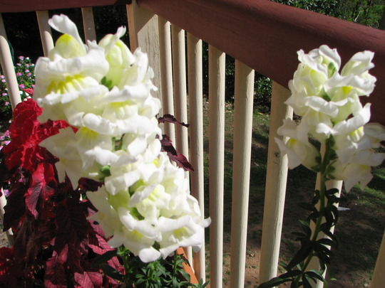 Early Spring in north-east Downunder:  Snapdragons