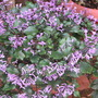 Early Spring in north-east Downunder: Plectranthus 'Mona Lavender' (Plectranthus)