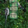 2 long tailed tits