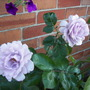 Rose Special Event