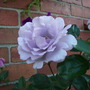 "Rose ""Special Event"""