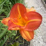 """Day Lily """"Staghorn Sumach"""""""