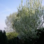 Wild bird cherry (Prunus padus (Bird Cherry))
