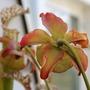 Sarracenia_juthatip_soper_flower