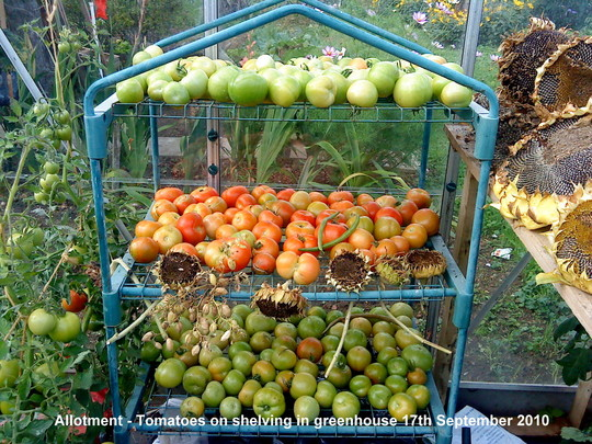 Allotment Tomatoes on shelving in greenhouse 17th September 2010 (Solanum lycopersicum (Tomato))
