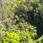 King Palms - Archontophoenix cunninghamiana and large Ficus trees (Archontophoenix cunninghamiana, Ficus benjamina)
