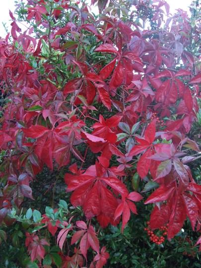 Scarlet waterfall. (Parthenocissus quinquefolia)