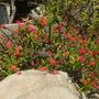 Euphorbia millii - Crown-of-thorns (Euphorbia millii - Crown-of-thorns)