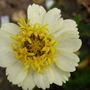 Zinnia grandiflora (Prairie Zinnia)