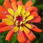 Zinnia (Zinnia grandiflora (Prairie Zinnia))
