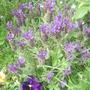 Lavender and Pansies