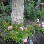 Floribunda rose `The Fairy`