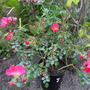 Modern shrub rose `Wild Thing`