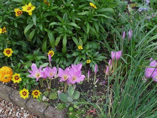 Colchicum  (Autumn crocuses)