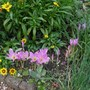 Colchicum  (Autumn crocuses)