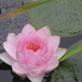 Nymphaea  Madame W. Gonnere. (Nymphaea Madam W. Gonnere)