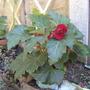 A garden flower photo (cascade begonia)