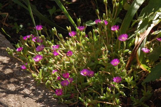 Drosanthemum hispidum.