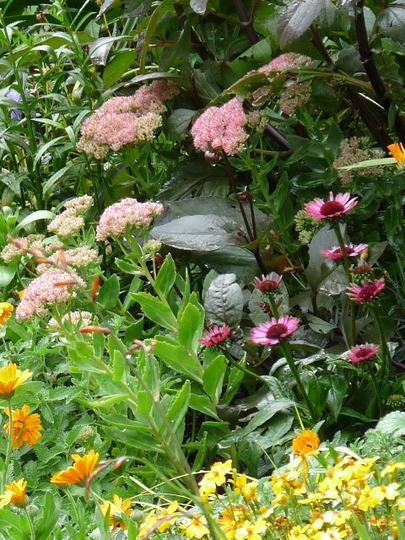 Sedum and Echinacea (Sedum spectabile (Ice plant))