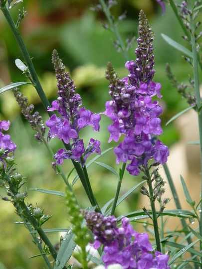 Toadflax - Linaria  in flower again...:o)) (Linaria purpurea (Purple Toadflax))