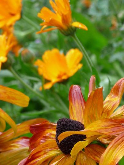 Rudbeckias.....still flowering! (Rudbeckia grandiflora (Rough Coneflower))