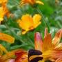 Rudbeckia grandiflora