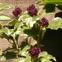 2_varigated_hibiscus.jpg