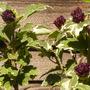 4_varigated_hibiscus.jpg