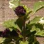 3vaigated_hibiscus.jpg