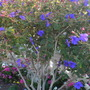 Tibouchina urvilleana - Glory Bush (Tibouchina urvilleana - Glory Bush)