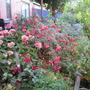 Fuchsia still blooming well