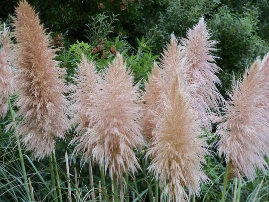 Pink Pampas Grass (Cortaderia selloana (Pampas Grass))