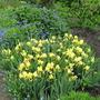 Meadow Court Irises at Hinton Ampner (Iris germanica (Orris))