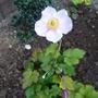 Anemone `September Charm`