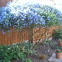 The taming of the Ceanothus