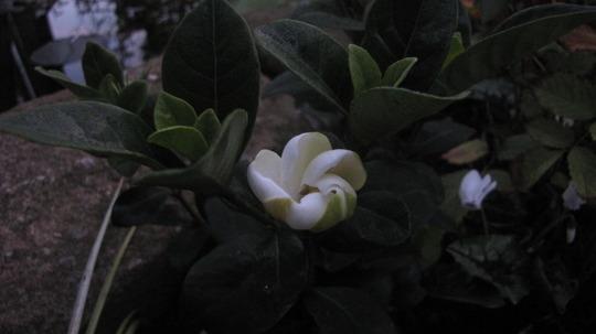 Hardy Gardenia flowering (Gardenia jasminoides (Cape jasmine))