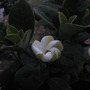 Hardy Gardenia flowering (Gardenia jasminoides (Cape jasmine))