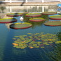 Victoria amazonica -  Queen Victoria or Amazon Water Lily (Victoria amazonica -  Queen Victoria or Amazon Water Lily)