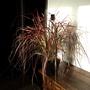 Pennisetum setaceum 'Fireworks' - 1 (Pennisetum setaceum (African Fountain Grass))
