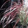 Pennisetum setaceum 'Fireworks' - 2 (Pennisetum setaceum (African Fountain Grass))