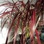 Pennisetum setaceum 'Fireworks' - 3 (Pennisetum setaceum (African Fountain Grass))