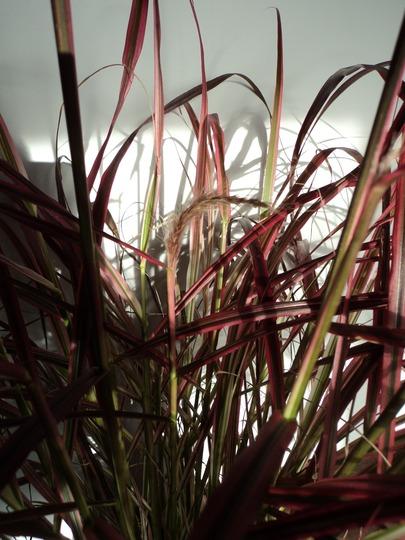 Pennisetum setaceum 'Fireworks' - 4  (Pennisetum setaceum (African Fountain Grass))